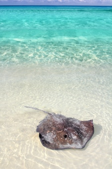 Stingray dasyatis americana à la plage des caraïbes