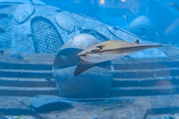Stingray nageant sous l'eau. la raie pastenague est également appelée chat de mer et se trouve dans les eaux tempérées et tropicales. atlantis, sanya, île de hainan, chine.