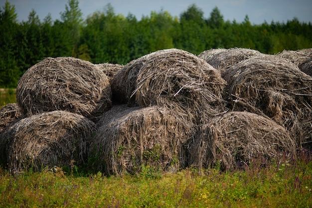Stockage de chapeaux pour le bétail. grandes piles de foin séchant