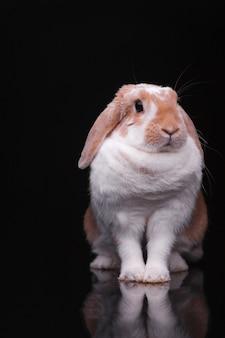 Studio photos d'un lapin rouge sur fond noir