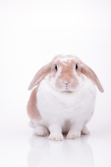 Studio photos d'un lapin rouge