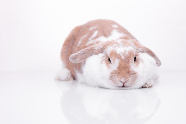 Studio photos d'un lapin rouge