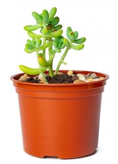 Succulente en pot isolé sur blanc