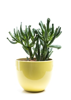 Succulente en pot isolé sur fond blanc.