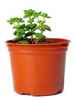 Succulente en pot isolé