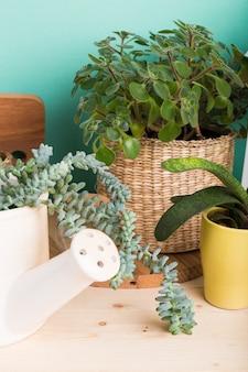 Succulentes, plantes d'intérieur en pots