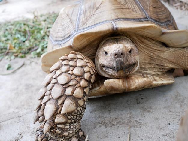 Sulcata, tortue, regarder, dans, zoo, gros plan