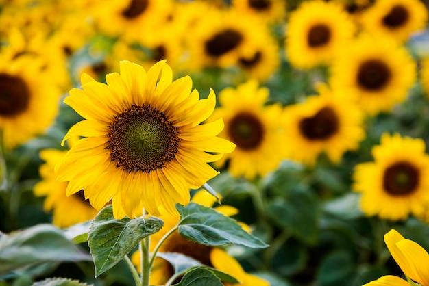 Sumflower nature blossom prairie croissance