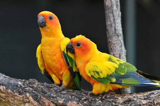 Sun conure parrot sur une branche d'arbre