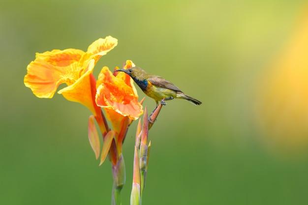 Sunbird à dos d'olive avec une belle fleur jaune