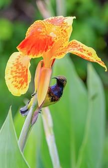 Sunbird à dos d'olivier sur la fleur d'oranger