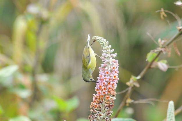 Sunbird de mme gould. femme, lovely bird