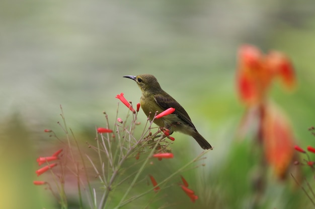 Sunbird à ventre jaune mignon animal tenant une branche de pétard