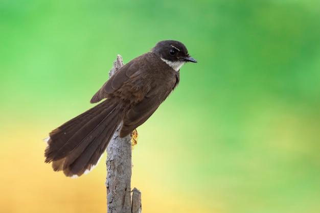 Sunda pied fantail ou piedail malaisien (rhipidura javanica) sur branche. oiseau. animaux.