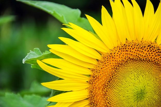 Sunflower close
