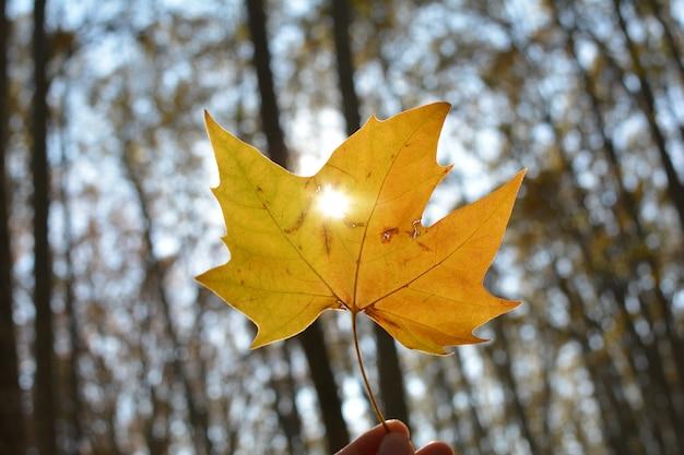 Sunset light illumining penetrating casser un trou d'une feuille d'automne jaune