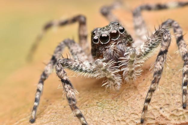 Super macro araignée sauteuse sur feuille
