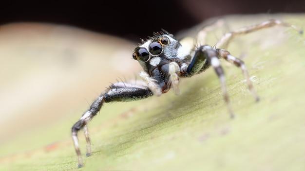 Super macro araignée sauteuse ou phintella versicolor (mâle)