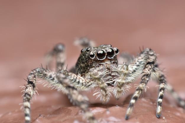 Super macro araignée sauteuse