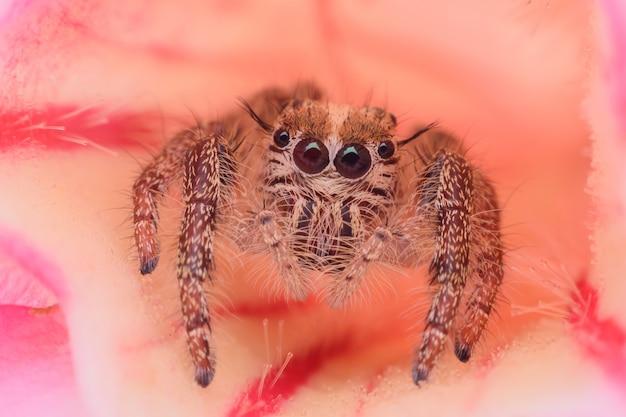 Super macro femelle hyllus diardi ou araignée sauteuse sur desert rose