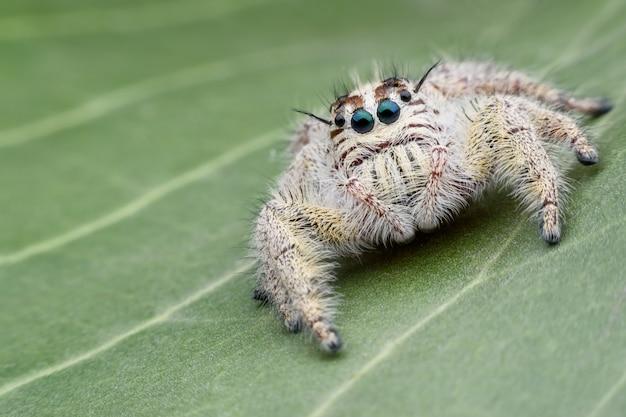 Super macro femelle hyllus diardi ou araignée sauteuse sur feuille verte
