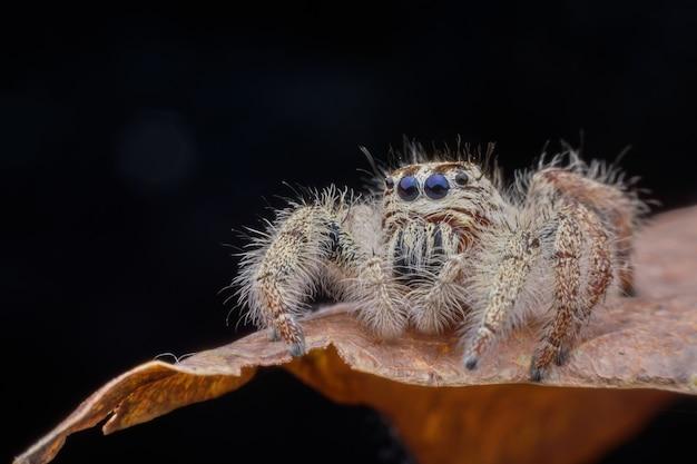 Super macro femelle hyllus diardi ou araignée sauteuse sur feuille