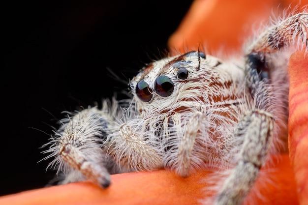 Super macro femelle hyllus diardi ou araignée sauteuse sur une fleur