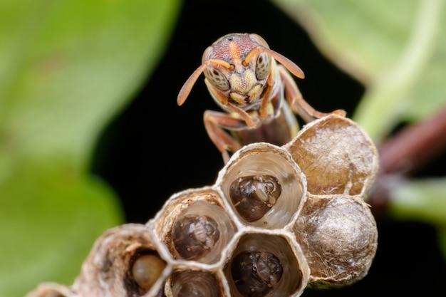 Super macro guêpe et larves dans un nid de guêpe