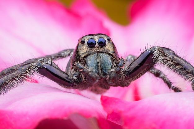 Super macro mâle hyllus diardi ou araignée sauteuse sur desert rose