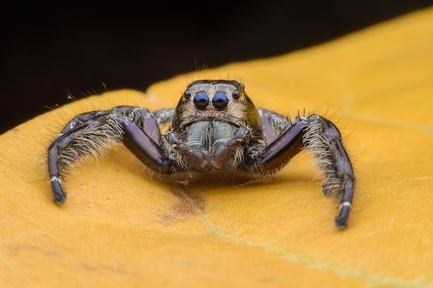 Super macro male hyllus diardi ou araignée sauteuse