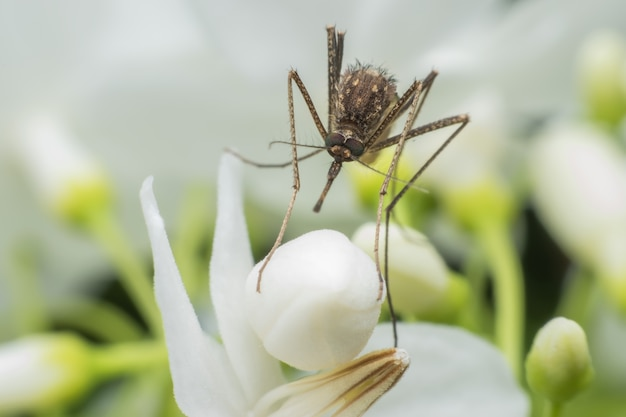 Super macro moustique mâle sur fleur blanche