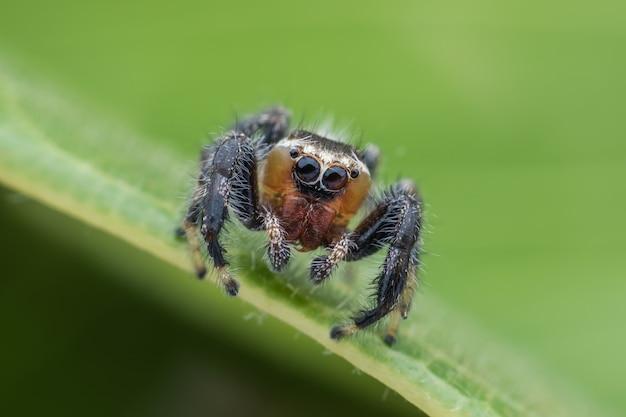 Super macro thyene imperialis ou araignée sauteuse sur feuille verte