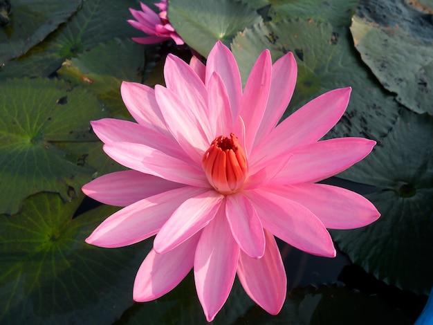 Superbe fleur de lotus rose qui fleurit parmi les feuilles vertes dans l'étang