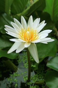 Superbe fleur de nénuphar tropical blanc pur dans l'étang