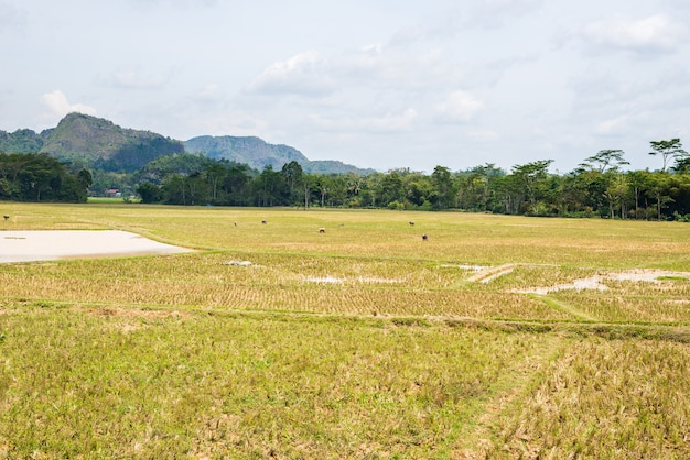 Superbe paysage de champs de riz remplis d'eau et de nuages pittoresques à tana toraja, sulawesi du sud, indonésie.