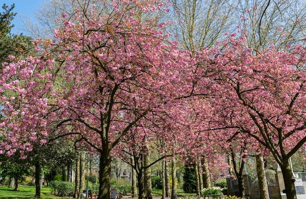 Superbes arbres de sakura japonais en fleurs dans le parc.