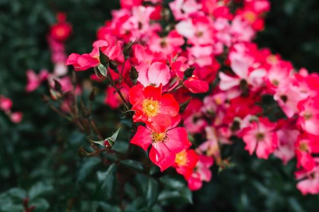 Superbes fleurs de camélia rose sasanqua