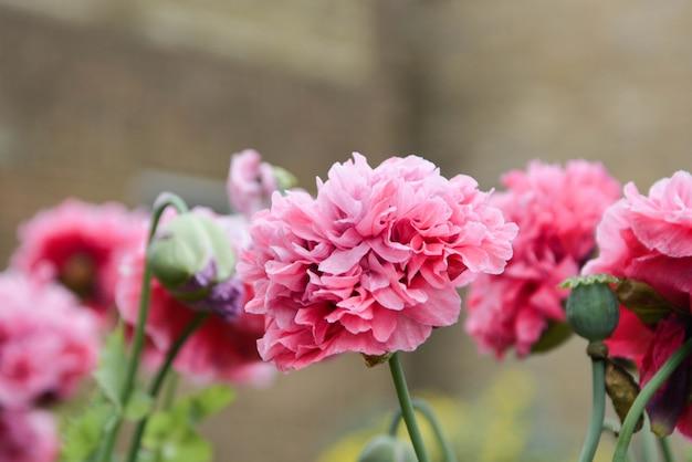 Superbes fleurs de pivoine moelleuses roses qui fleurissent dans le jardin, journée d'été ensoleillée.
