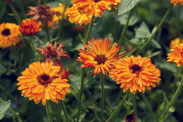 Surface d'été avec des fleurs en croissance calendula, souci