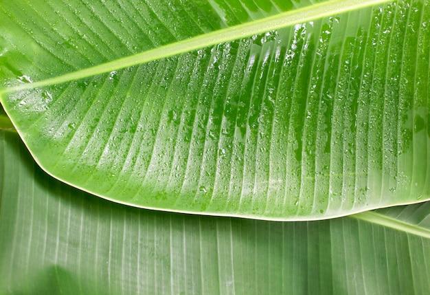 Surface et motif de la feuille de bananier.