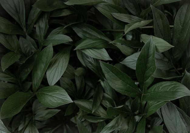 Surface naturelle avec espace de copie de feuillage de buisson de pivoine
