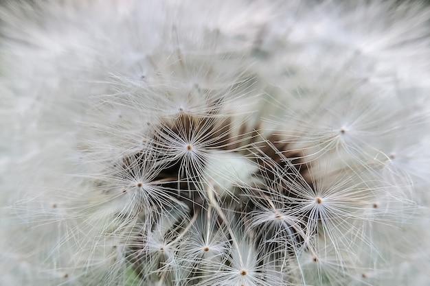 Surface texturée de graines de pissenlit duveteuses blanches