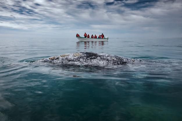 Les surfaces de baleine grise à côté d'un bateau à san ignacio lagoon dans la mer de cortes, baja california.