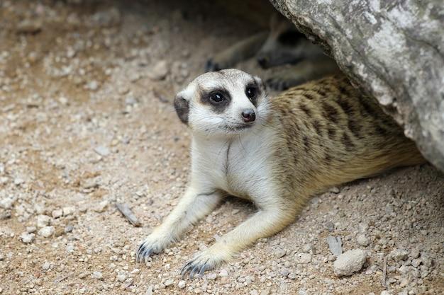 Le suricata suricatta ou suricate dans la grotte