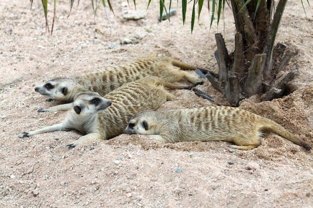 Le suricata suricatta ou suricate dorment sur le sable