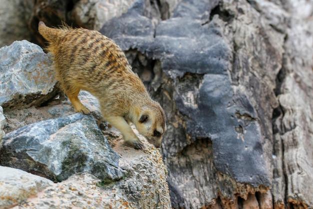 La suricata suricatta ou suricate sur le rocher