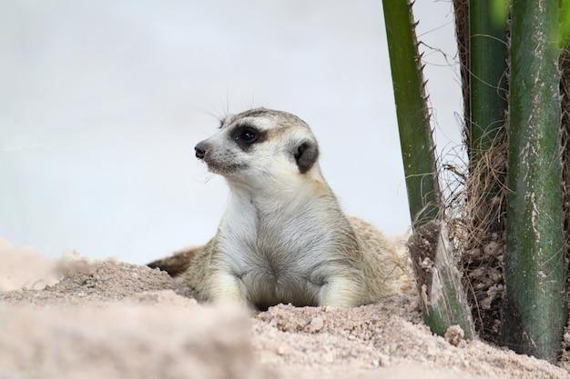 Le suricata suricatta ou suricate s'asseoir et se reposer sur le jardin de sable