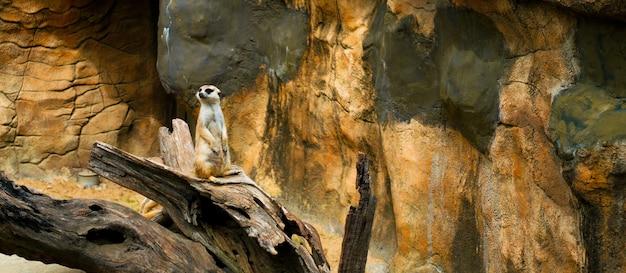 Suricate coréen dans la grotte de pierre