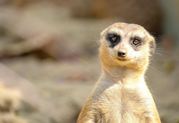 Un suricate marron
