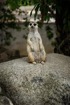 Suricate mignon assis sur une pierre